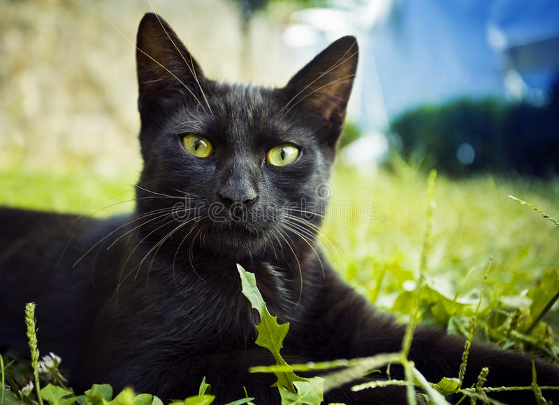 Download Cat stock photo. Image of black, face, grass, vision - 27177598