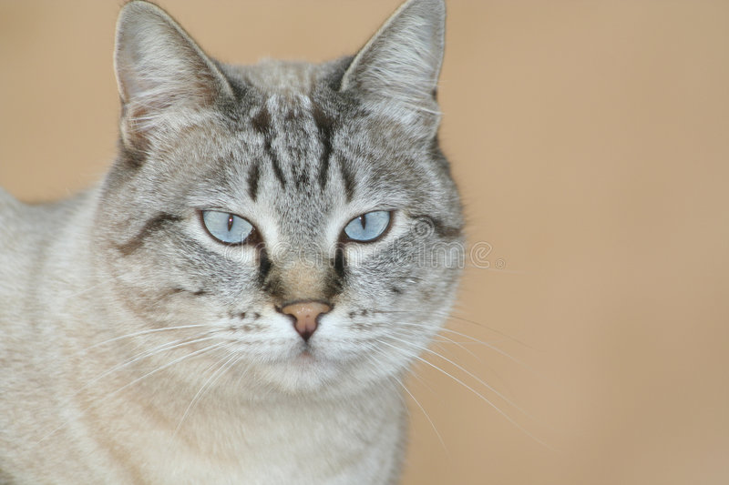 Cat royalty free stock photography