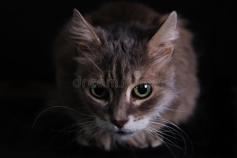 Download Cat stock image. Image of indoor, domestic, cats, furry - 28575835