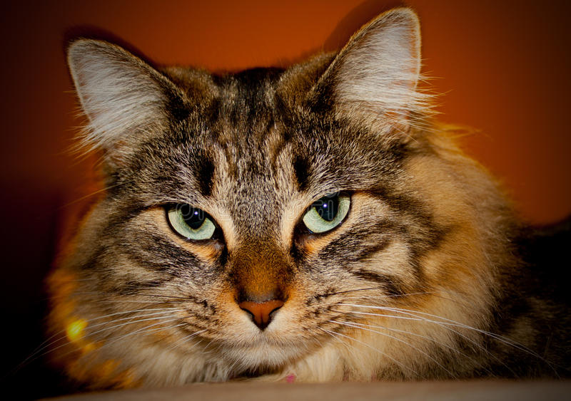 Download Cat stock photo. Image of nose, soft, cuddly, ears, eyes - 28581054