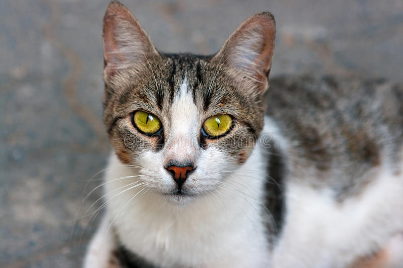Download Cat stock image. Image of cute, friendly, face, eyes - 29095097