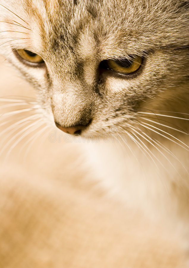 The cat. Cat - the small furry animal with four legs and a tail; people often keep cats as pets royalty free stock photos