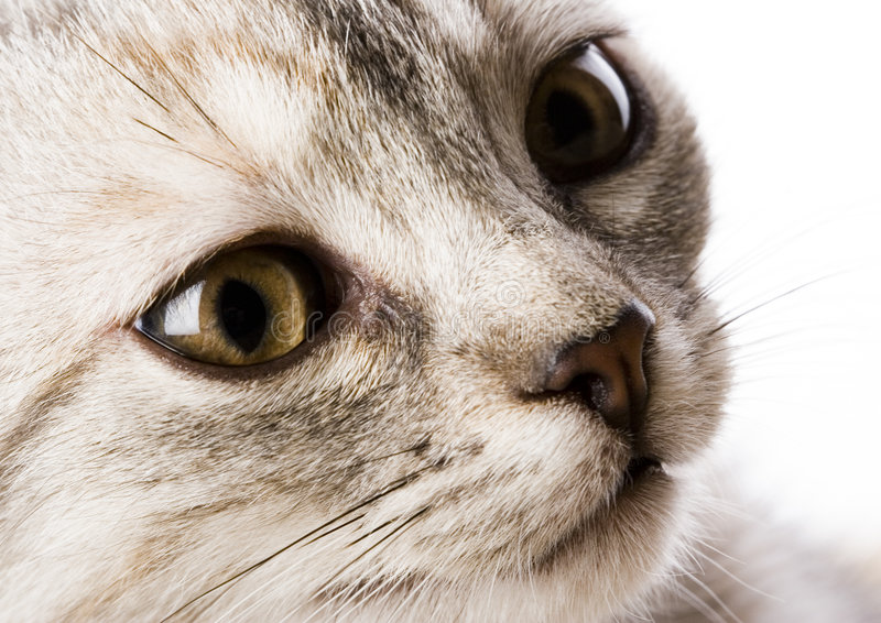 The cat. Cat - the small furry animal with four legs and a tail; people often keep cats as pets royalty free stock photo