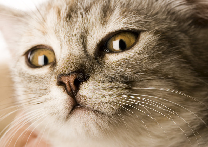Cat. The small furry animal with four legs and a tail; people often keep s as pets royalty free stock images