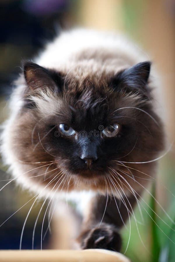 Download Cat stock photo. Image of mask, black, thai, animal, colourpoint - 29381028