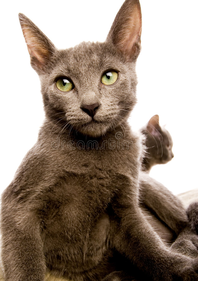 Cat. The small furry animal with four legs and a tail; people often keep s as pets royalty free stock image
