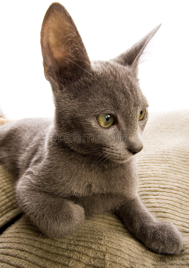 Cat. The small furry animal with four legs and a tail; people often keep s as pets royalty free stock photos
