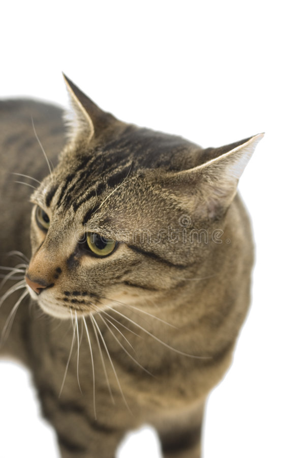Free Cat Royalty Free Stock Photos - 4229268