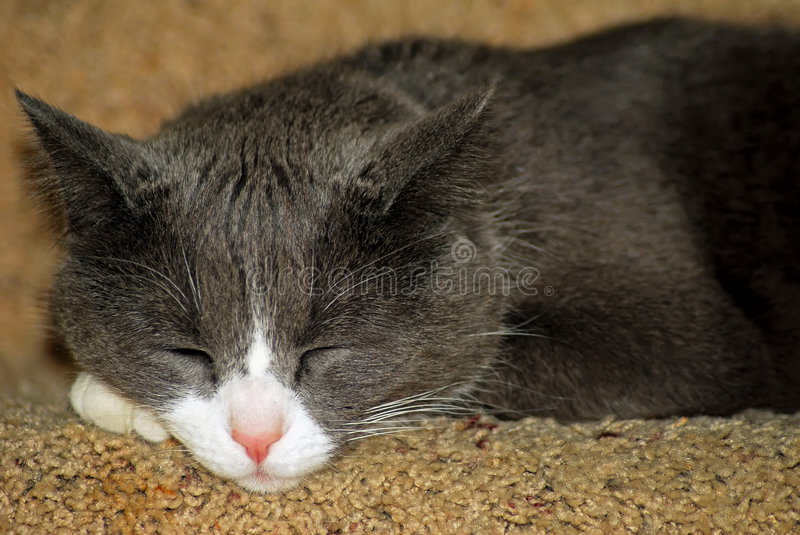 Cat. Close up of grey and white domestic cat sleeping on stairs royalty free stock photo