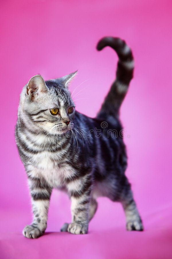 Cat. A young cat on pink background stock photo