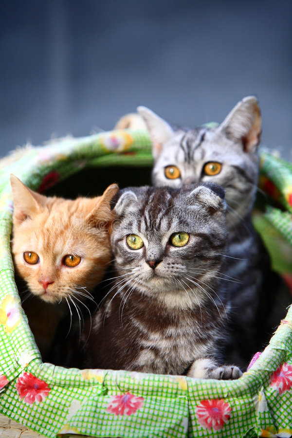 Cat. Three young cats focus at something stock images