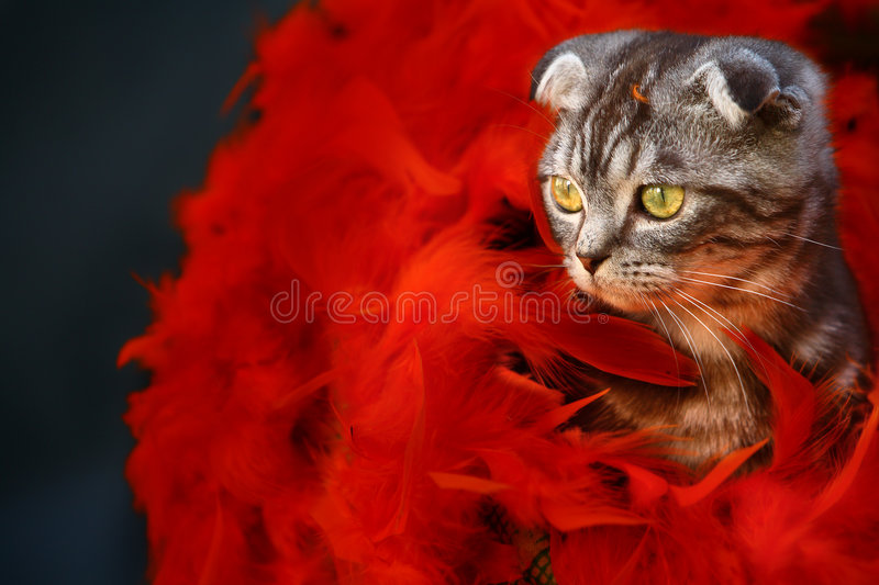 Cat. A young cat with red feathers stock photo
