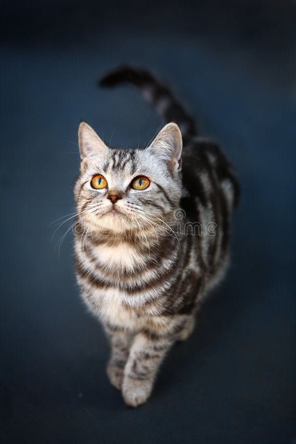 Cat. A young cat focus at something stock photography