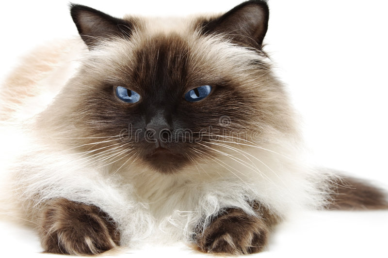 Download Cat stock image. Image of fluffy, cute, domestic, looking - 4649309