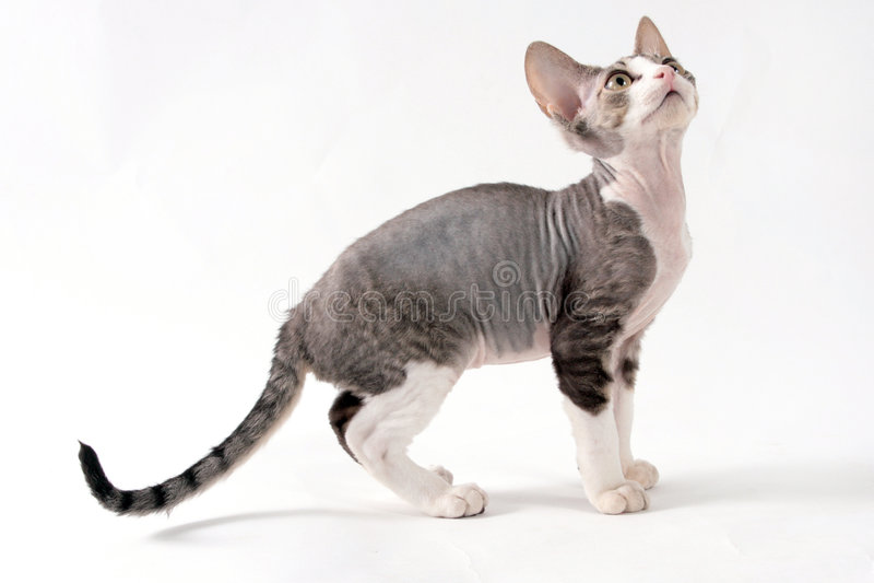 Cat. Fluffy little playful lady-cat stock photo