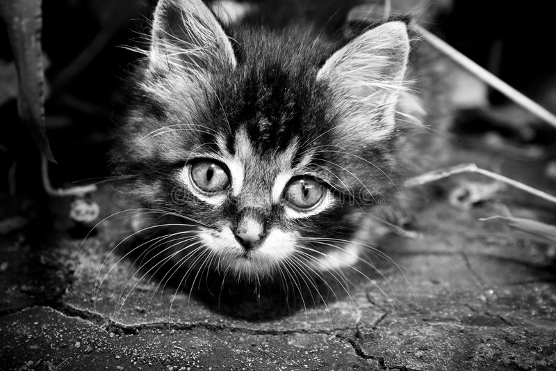 Cat. Closeup small cat in monochrome royalty free stock photo