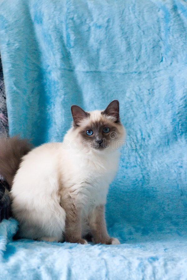 Cat. Birman cat with blue eyes and blue background stock photos