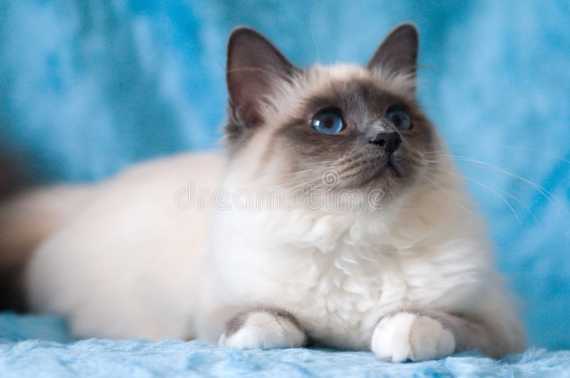 Cat. Birman cat with blue eyes and blue background royalty free stock images