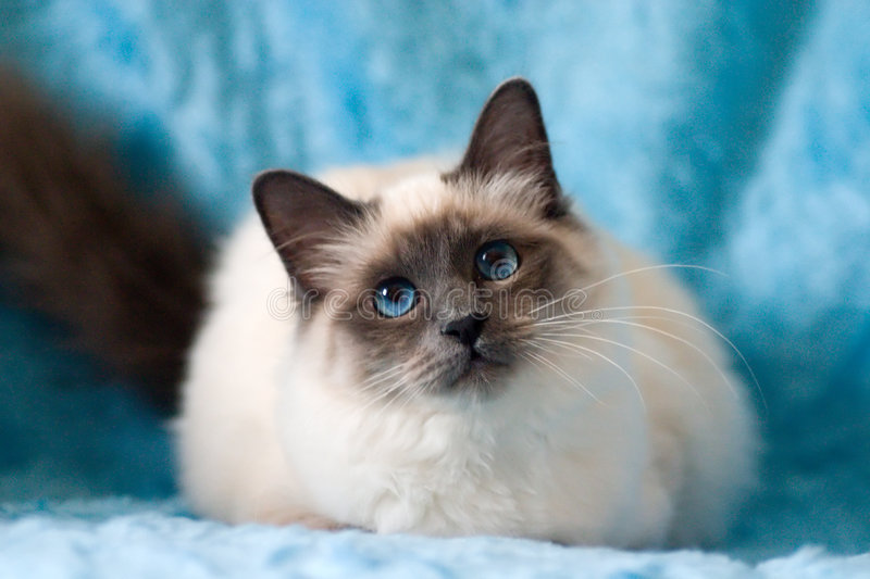 Cat. Birman cat with blue eyes and blue background stock image