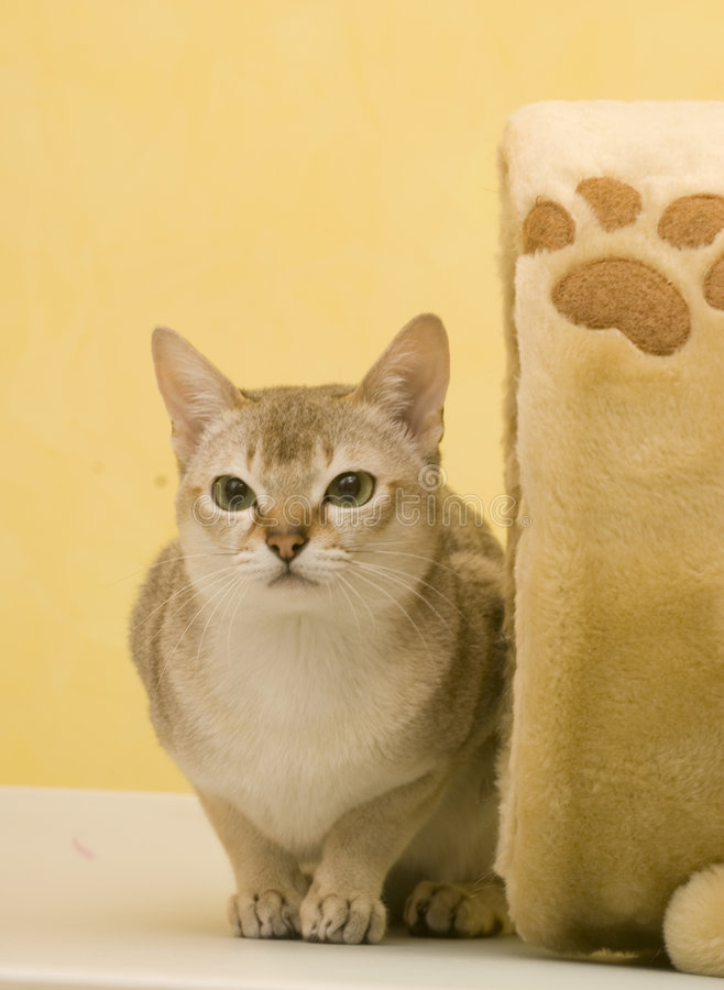 Download Cat stock photo. Image of fatigue, breedscontemplate, isolation - 7621634