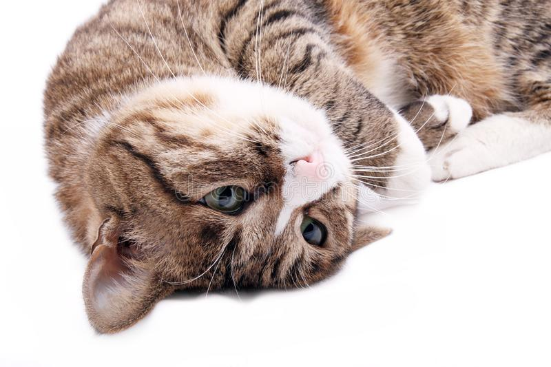 Download Cat stock image. Image of breed, background, look, lonely - 8335637