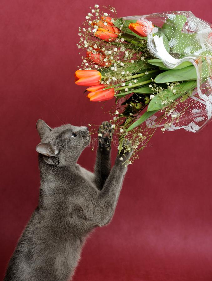 Download Cat stock image. Image of gray, nose, domestic, claw, anticipation - 8525301