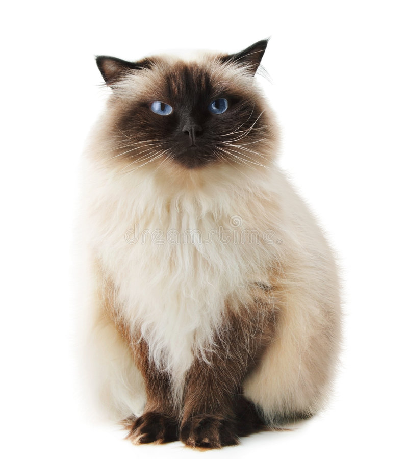 Download Cat stock image. Image of brown, isolated, blue, looking - 9209125