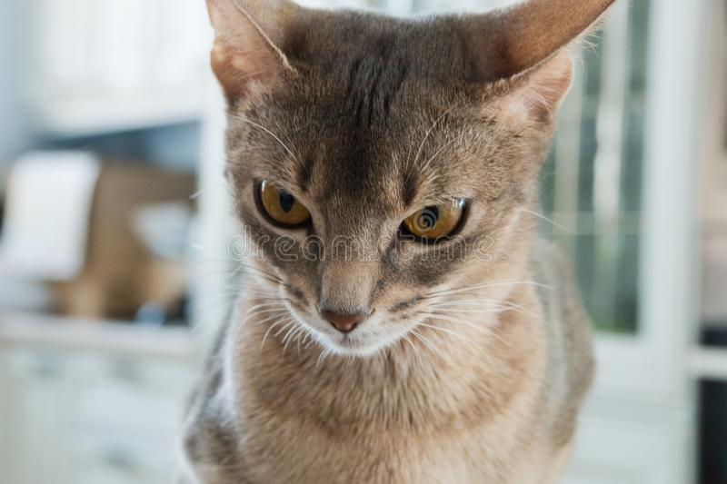 Cat of the Abyssinian breed serious face closeup.  royalty free stock image