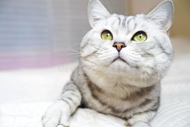 Cat is an adult with green eyes. stock photo