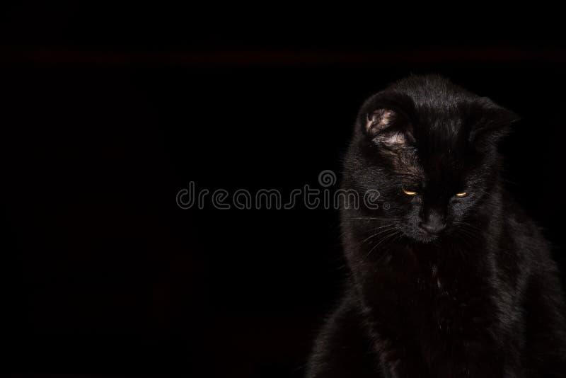 Cat Against Black Background nera fotografia stock libera da diritti