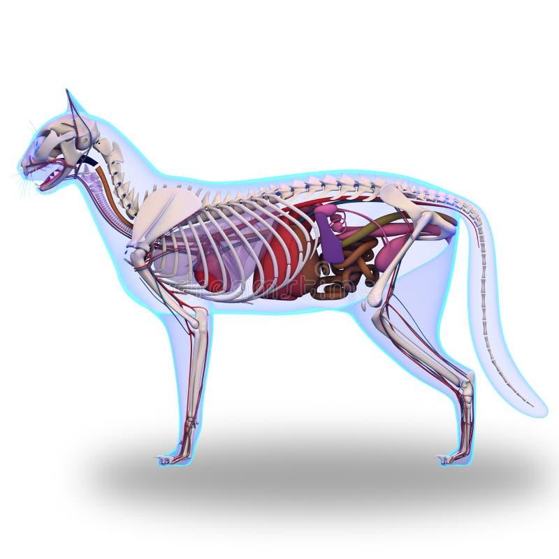 Cat Anatomy - anatomie interne d'un chat illustration de vecteur