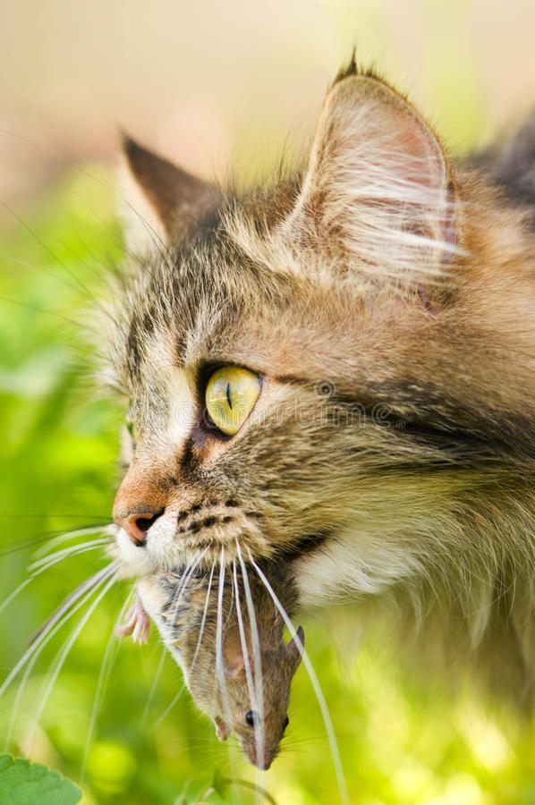 Free Cat And Mouse Stock Image - 14296151