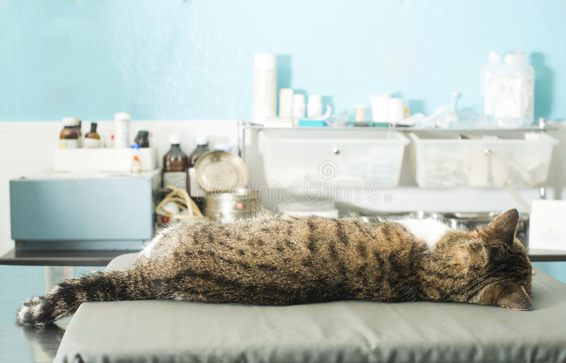 Cat anesthesia in veterinary stock photos
