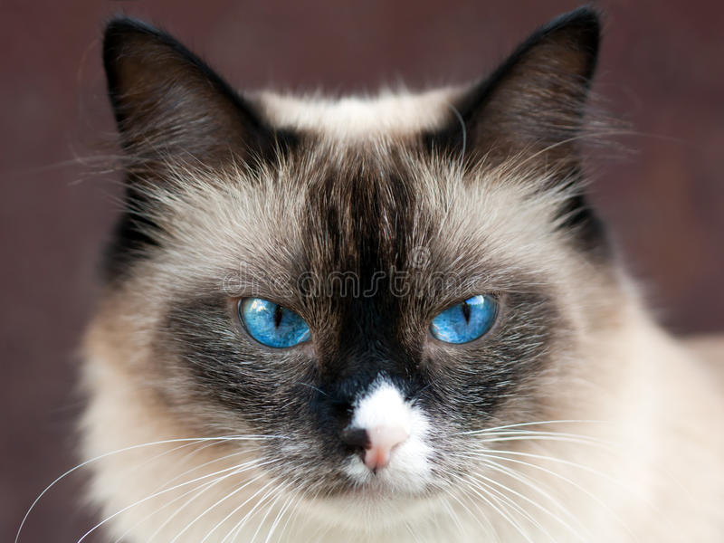 Cat animal. Feline animal pet siamese domestic cat looking eye stock photos