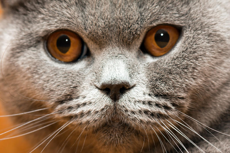 Cat animal. Feline animal pet british domestic cat looking eye stock photos