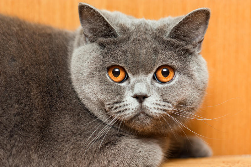 Cat animal. Feline animal pet british domestic cat looking eye stock photo
