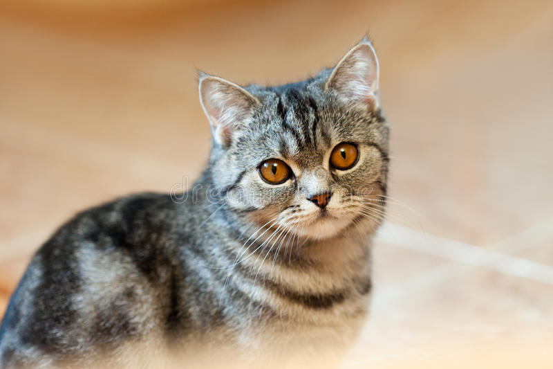 Download Cat animal stock image. Image of brown, hair, love, nose - 19118391