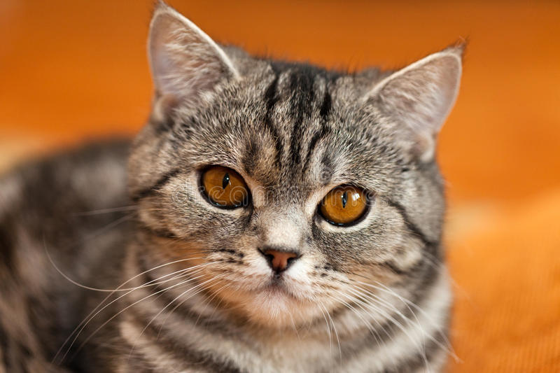 Cat animal. Feline animal pet british domestic cat looking eye stock images