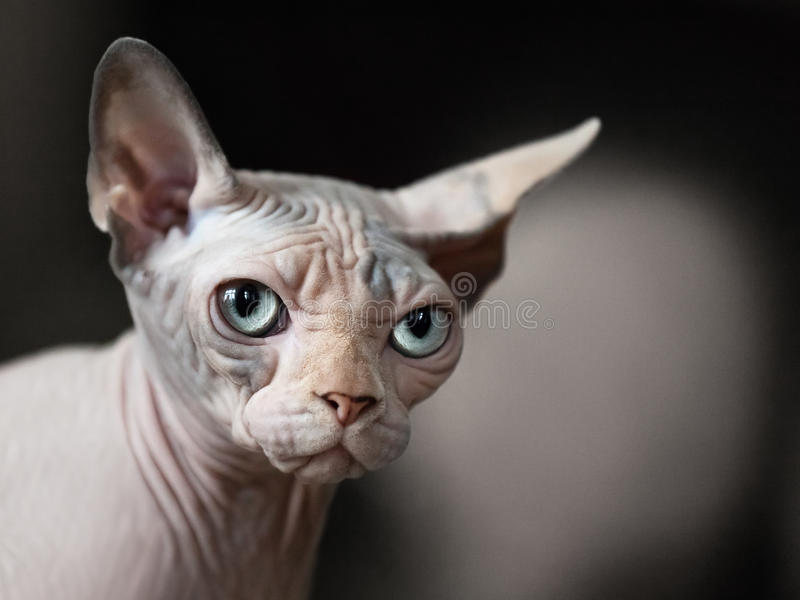 Cat animal. Feline animal pet hairless sphinx domestic cat looking eye royalty free stock photo