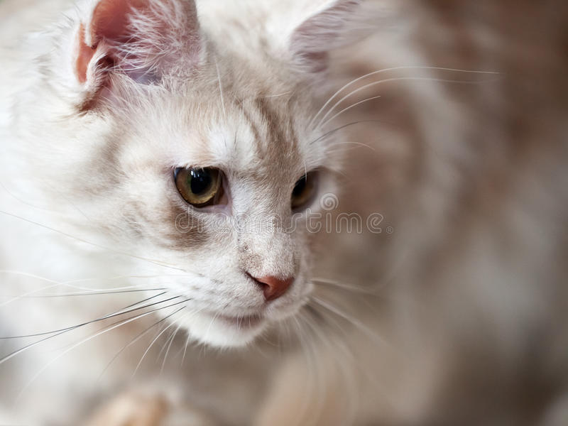 Download Cat animal stock photo. Image of image, fluffy, brown - 23656004