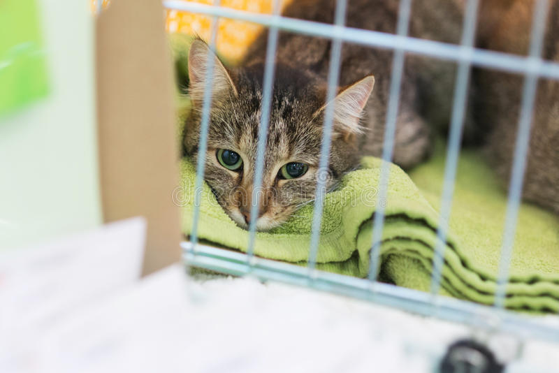 Cat in animal pet shelter rescued unwanted lost ready for adoption. Tabby cat in animal pet shelter cage behind bars, rescued for adoption as unwanted lost stock photo