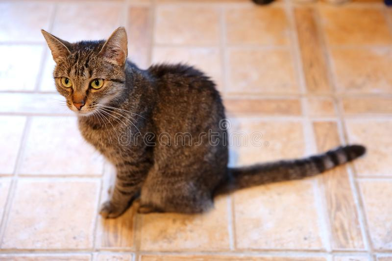 A cat is an animal that always walks its own paths and it does not matter whether it is a pure rooster or an ordinary roofer. Often cats that do not have a royalty free stock photography