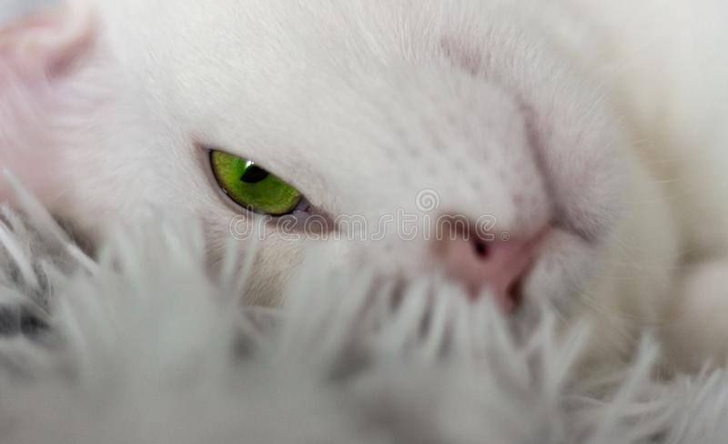Cat animals friend love green eye look white cat home cats. Relax royalty free stock images