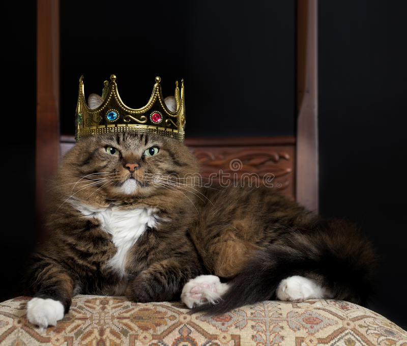 Cat as Royalty. A Norwegian Forest cat mix wearing kings crown sitting on chair with expression of distinguished royalty