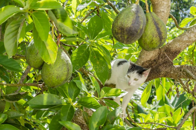 Cat In Avocado Tree. In an avocado pear tree on a main branch is a black and white cat stretching across with two front feet resting on a limb as it looks stock photography