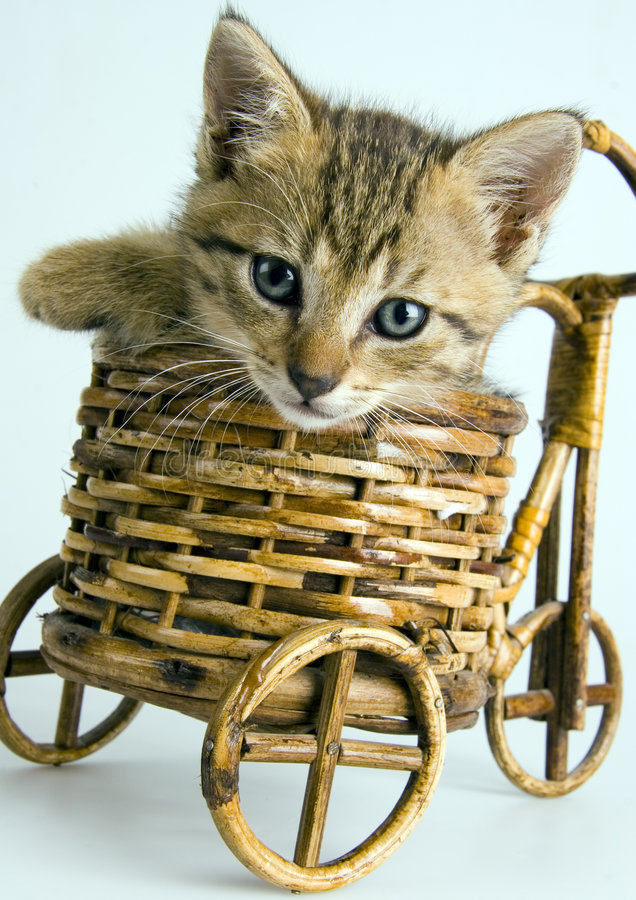 Cat in the basket. Cat - the small furry animal with four legs and a tail; people often keep cats as pets royalty free stock photos