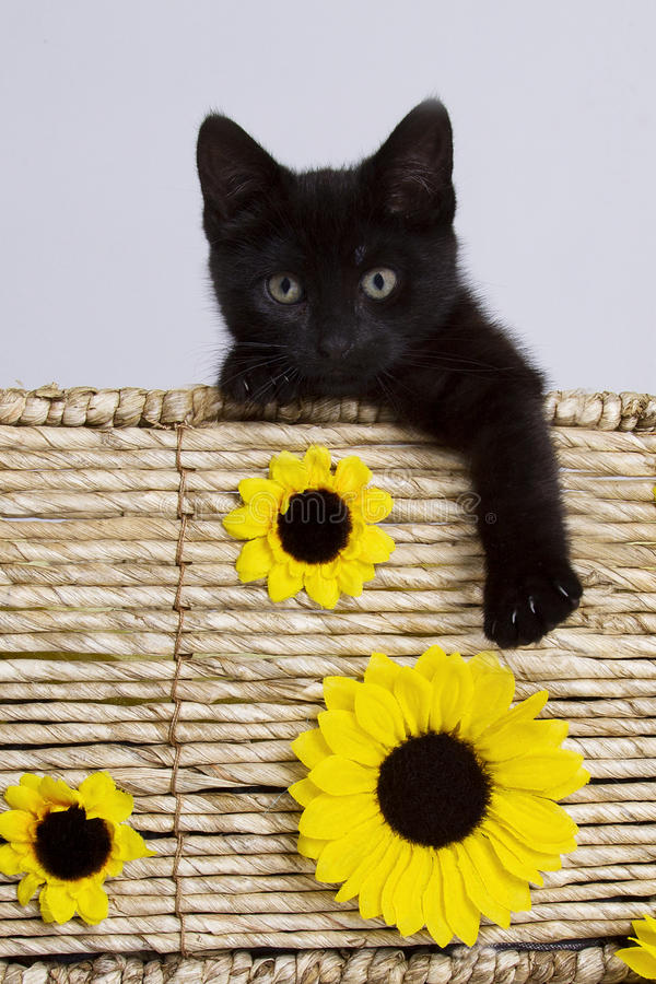 Cat in basket with sunflowers stock photos