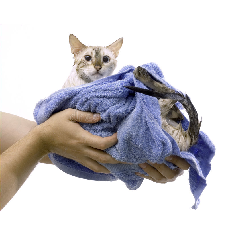 Cat bath. Hands holding wet cat in a towel after bath - isolated stock photos