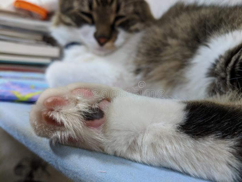 Cat Beans. House cat shows off his feet stock photo