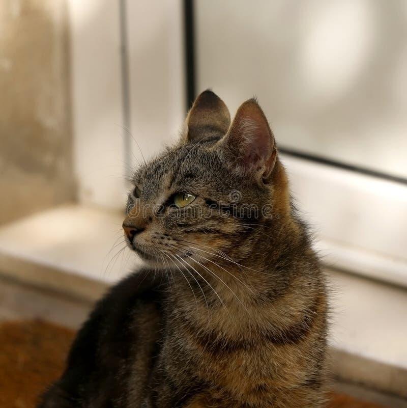 Cat. Beautiful brown tabby cat sitting on a doormat outdoor. Selective focus stock photo